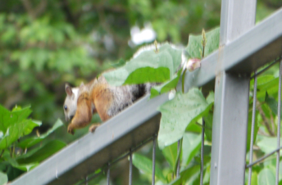 Long Tail Squirrel